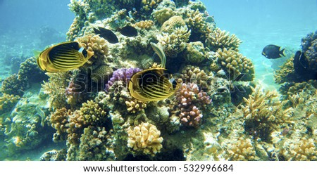 Butterfly fish in the Red Sea