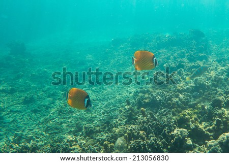 Butterfly fishes - stock photo