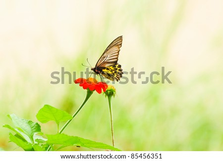 Butterfly flying on Cosmos flower