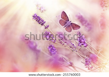 Butterfly flying over lavender