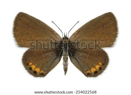 Butterfly Freyeria trochylus (male) on a white background - stock photo