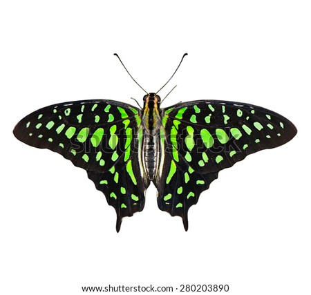 Butterfly (Graphium agamemnon) isolated on white background.  - stock photo