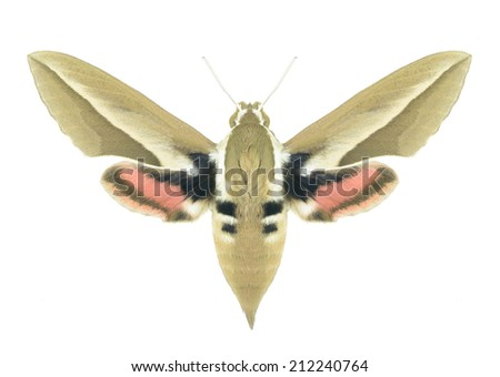 Butterfly Hyles hippophaes on a white background - stock photo