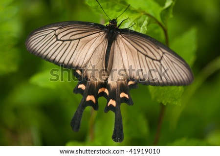 Butterfly in Hakone, Japan. - stock photo