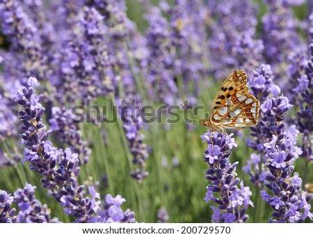 butterfly in lavender field - stock photo