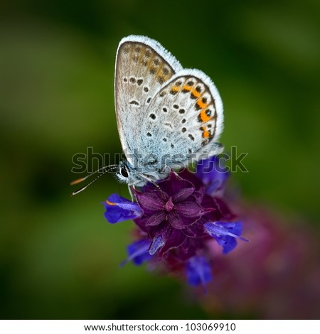 butterfly in natural habitat (plebejus argus) - stock photo