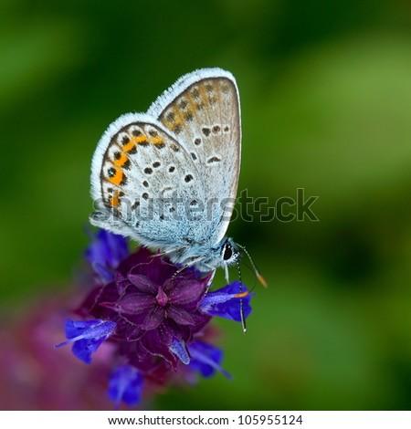 butterfly in natural habitat (plebejus argus) - stock photo