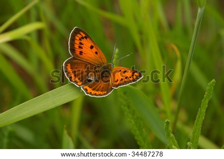 Butterfly large copper on leaf of grass