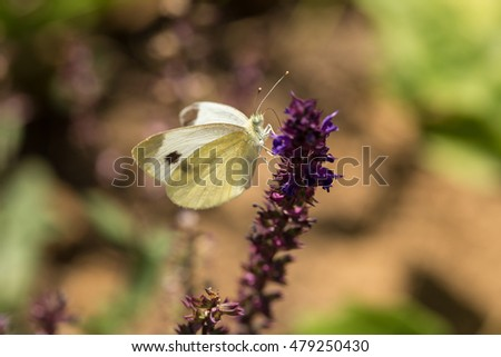 "Butterfly - ""Large White"" (Pieris brassicae) on flower"
