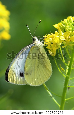 Butterfly - Large White (pieris brassicae) on yellow flowers. Close up - stock photo