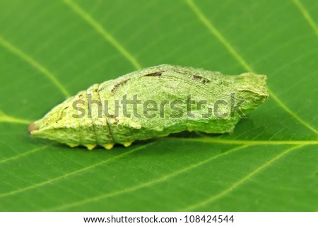 Butterfly larva on a green leaf taken closeup. - stock photo
