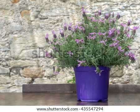 Butterfly lavender plant on table outdoors. Lavandula pedunculata. - stock photo