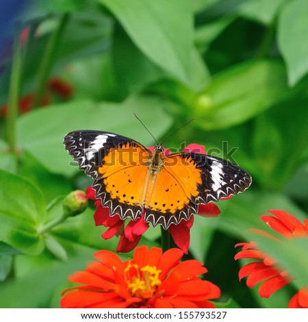 Butterfly (Leopard Lacewing)