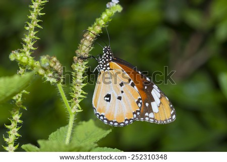 Butterfly (Leopard Lacewing : Cethosia cyane Fruhstorfer) - stock photo