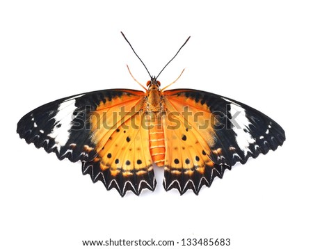 Butterfly (Leopard Lacewing) isolated on white background
