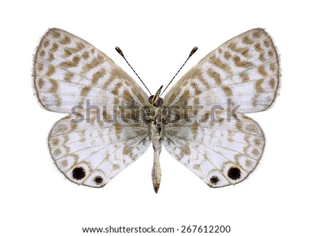 Butterfly Leptotes cassius theonus (underside) on a white background - stock photo