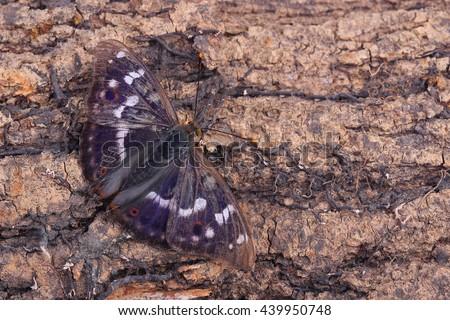 Butterfly - Lesser Purple Emperor (Apatura ilia) sitting on tree - stock photo
