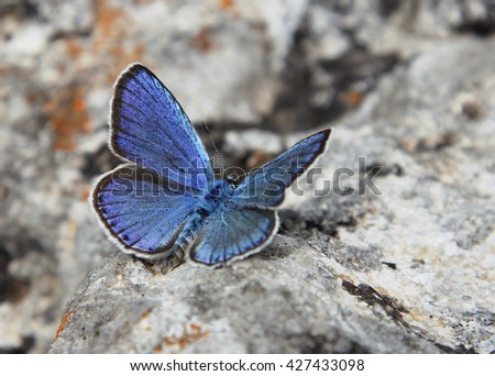 Butterfly Lycaenidae on a stone - stock photo