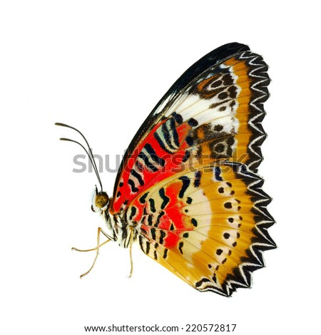 Butterfly, Malay Lacewing, Leopard Lacewing butterfly isolated on white background.