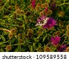 Butterfly Marbled White (Melanargia galathea) - stock photo