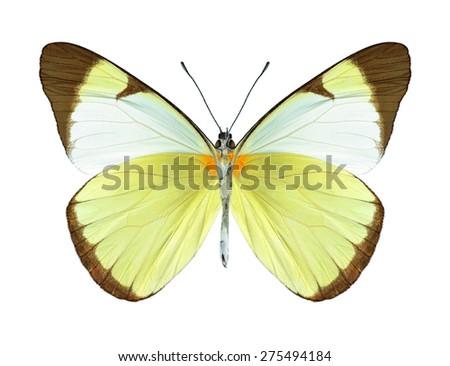 Butterfly Melete lycimnia (underside) on a white background - stock photo