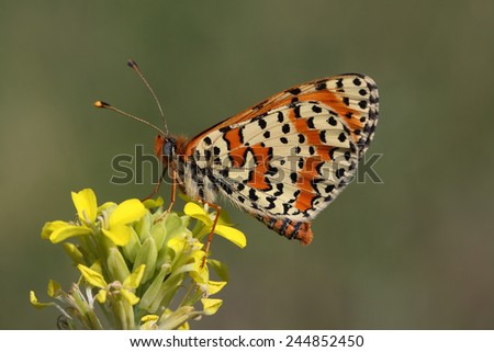 butterfly (Melitaea dydima) rest in the flowers