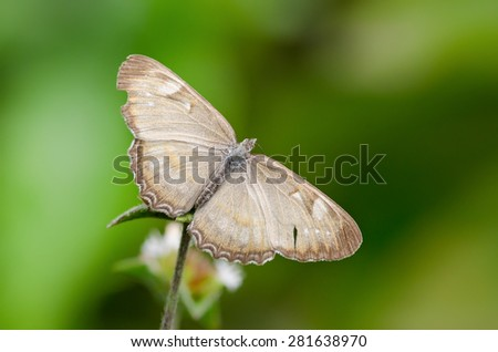 Butterfly Mestra hipermnestra with wings wide open on a plant - stock photo