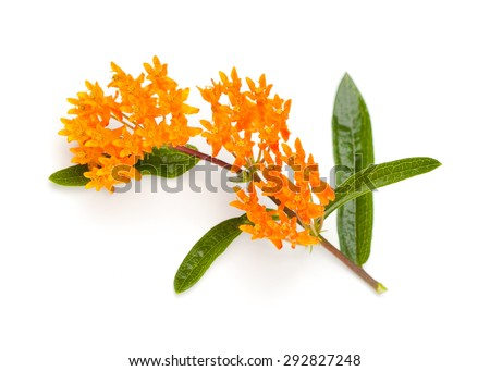 Butterfly Milkweed (Asclepias tuberosa) on a white background - stock photo