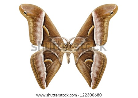 Butterfly moth species Samia kohlii in high definition extreme focus isolated on white background - stock photo
