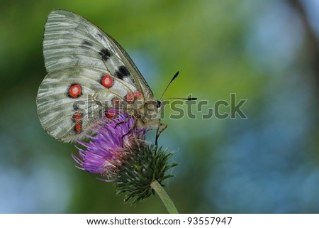 butterfly: Mountain apollo (Parnassius apollo) - stock photo