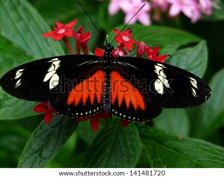 Butterfly native to the tropical rain forest of Costa Rica