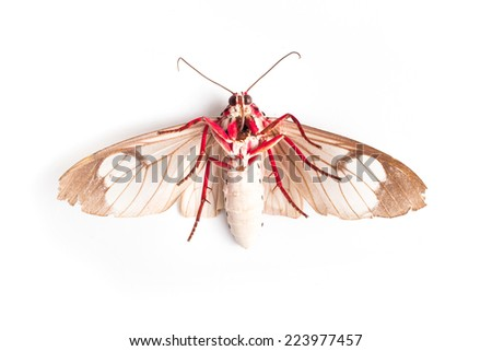 Butterfly of Silk moth isolated on a white background. Close up