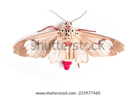Butterfly of Silk moth isolated on a white background. Close up - stock photo