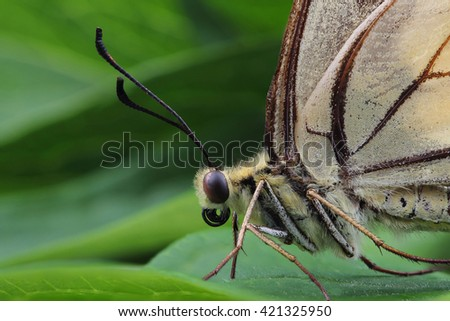 Butterfly - Old World swallowtail (Papilio machaon). Macro - stock photo