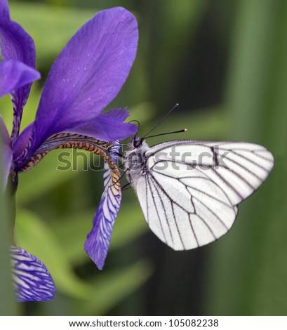 Butterfly on a iris - stock photo