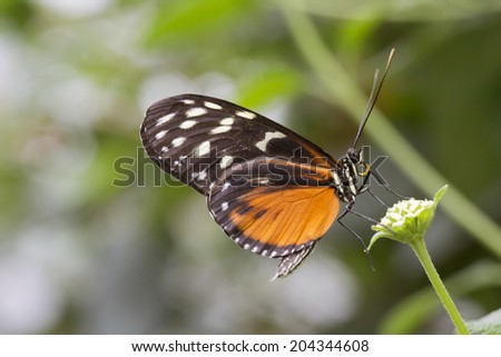 Butterfly on a leaf - Tiger Longwing butterfly (Heliconius hecale), Golden Helicon - stock photo