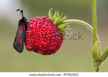 Butterfly on a strawberry - stock photo