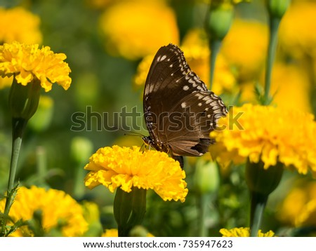 Butterfly on American marigold flower. (Tagetes erecta)