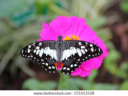 Butterfly on an pink flower - stock photo