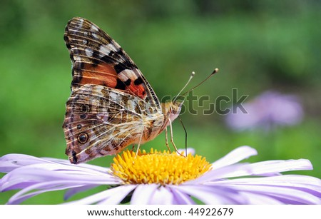 butterfly on blue aster flower close up