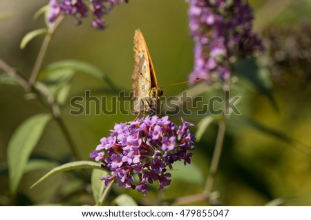 butterfly on butterfly bush (buddeleia)