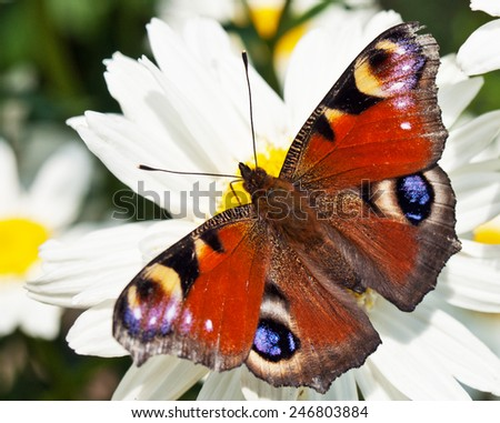butterfly on chamomill - stock photo