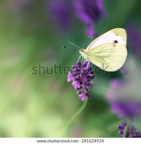 Butterfly on lavender flower - stock photo