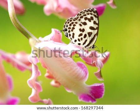 butterfly on orcid - stock photo