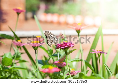 Butterfly on pink chrysanthemum flowers