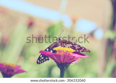 Butterfly on pink chrysanthemum flowers vintage style for background - stock photo