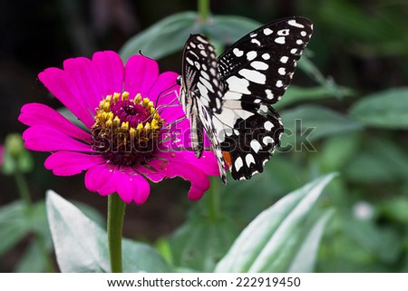 Butterfly on pink zinnia flower.