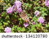 Butterfly on purple flower. - stock photo
