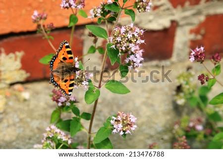 Butterfly on purple flowers of oregano ( Origanum vulgare ). Rustic eco garden. - stock photo