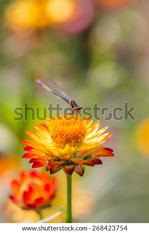 butterfly on strawflower - stock photo